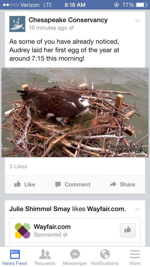 Osprey Egg!