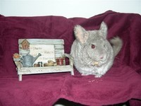 Migo the chinchilla