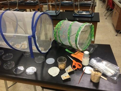 Painted Lady Larvae Set Up